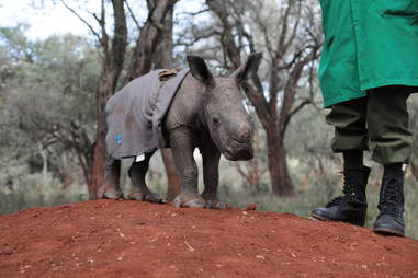 Baby rhino with blanket on her back