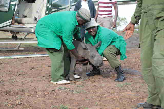 Rescuers ready to lift baby rhino into helicopter
