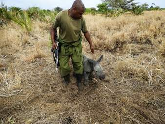 Ranger walking with baby rhino