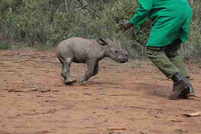 Baby rhino running toward keeper