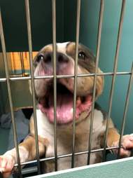 Pit bull mix standing against kennel door