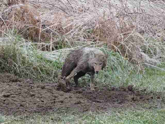 Wild coyote stuck in trap