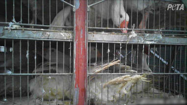 Geese being mistreated at down farm