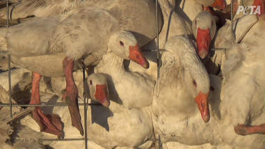Geese piled into loading cage
