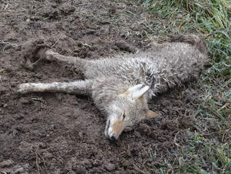 Coyote stuck inside trap