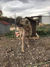 Dog chained up at dog house in Turkey