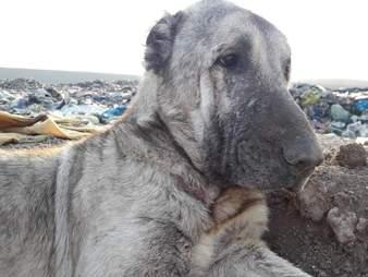 Kangal shepherd dog inside Turkey landfill