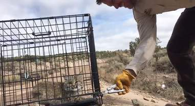 angry bobcat kitten release