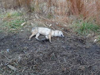 Coyote who died in trap