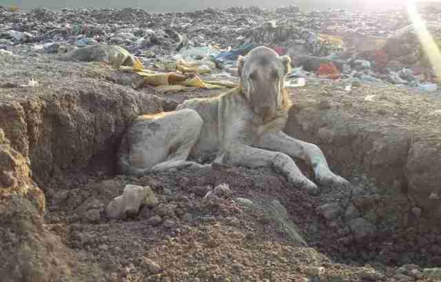 Senior dog at landfill in Turkey