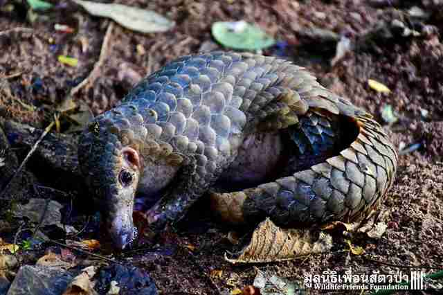 Pangolin after being released back into the wild