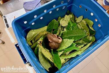 Pangolin in box to be released
