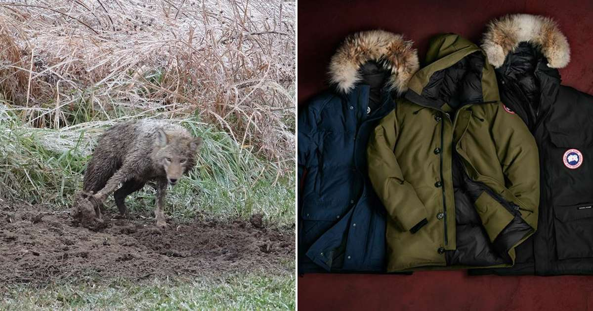 79d92973ece Animals Are Suffering To Make Popular Canada Goose Jackets - The Dodo