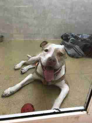 Pit bull lying in shelter kennel