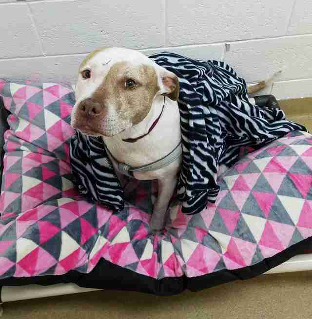 Pit bull on dog bed in shelter kennel