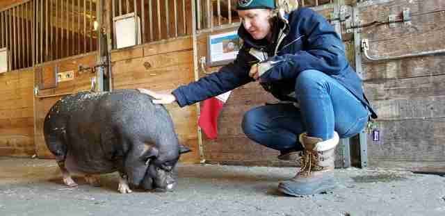Person petting overweight potbelly pig