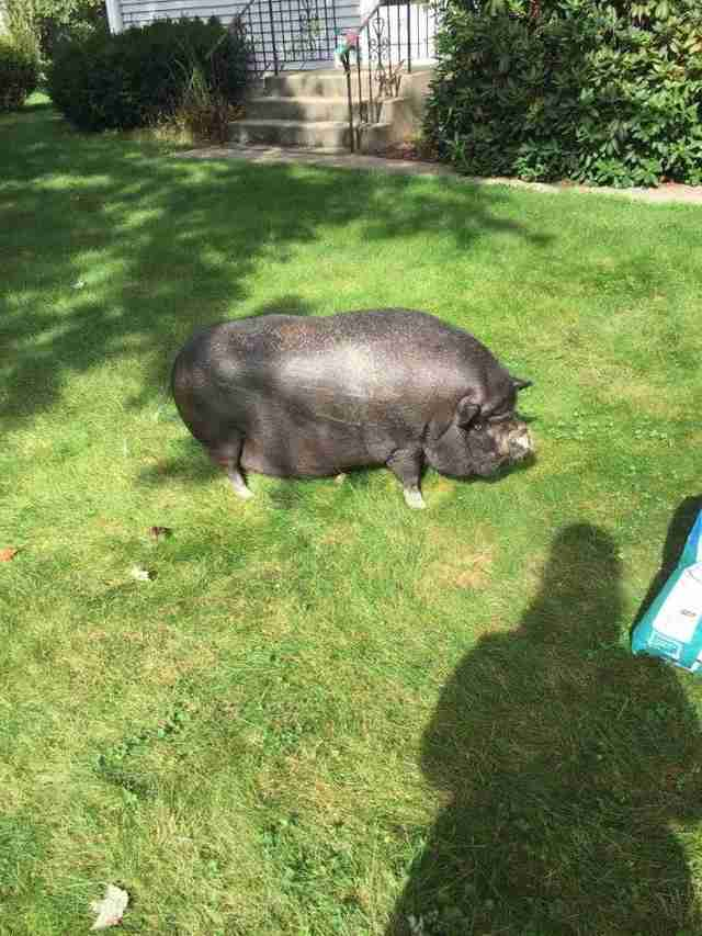 Overweight potbelly pig in yard