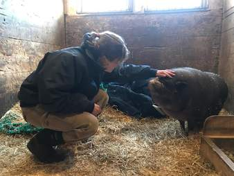 Person petting potbelly pig in barn