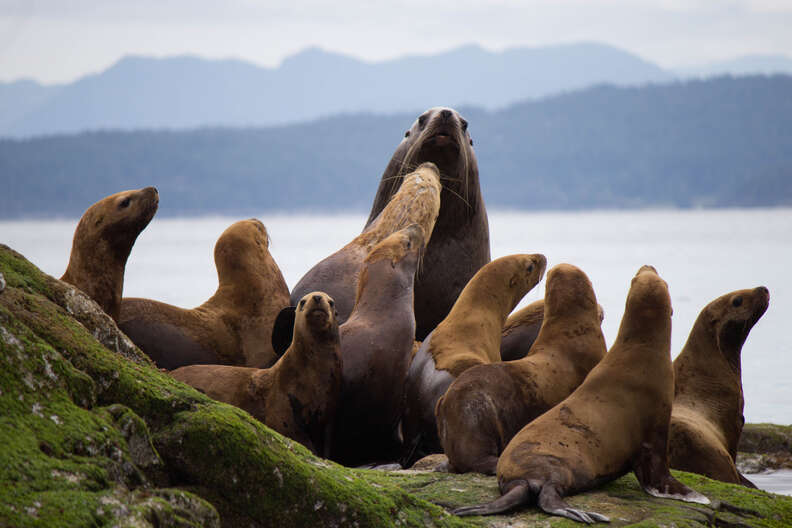 Baby sea lions with adult sea lion