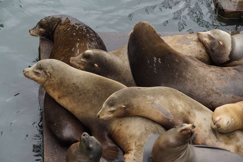 Sea lions lying on dock together