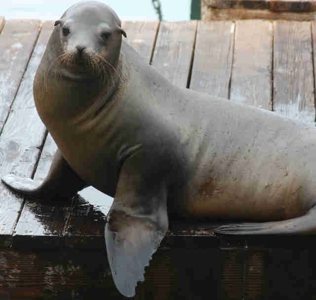 Sea lion lying on wooden dock