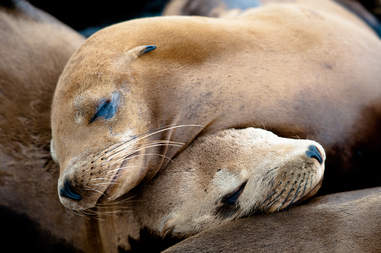 Sea lions cuddled up together
