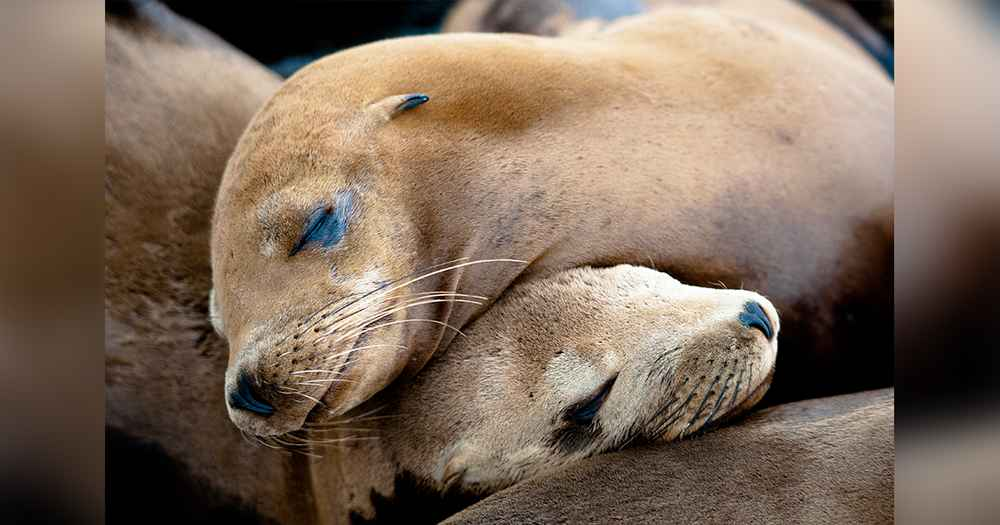 The Government Just Decided To Kill Hundreds Of Sea Lion Families