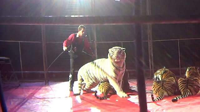 Trainer standing over circus tigers