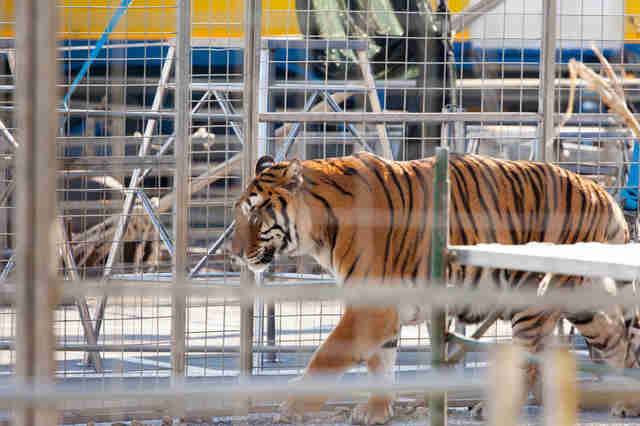 Tiger trapped inside tiny metal cage