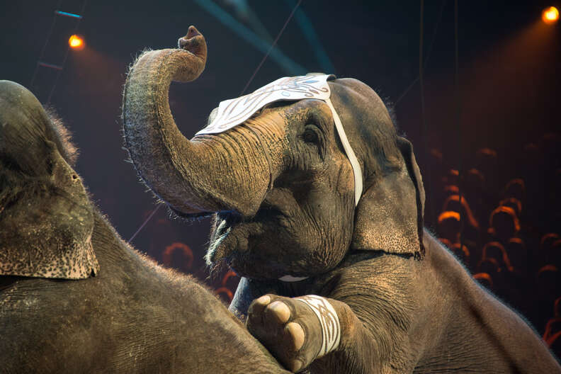 Elephants being forced to perform in circus
