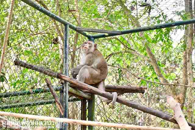 Rescued macaque inside cage at rehabilitation center
