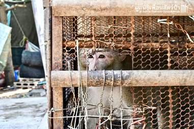 Sad looking macaque inside rusty cage