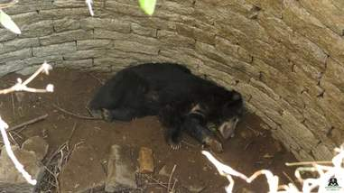 Sloth bear lying on bottom of well in India
