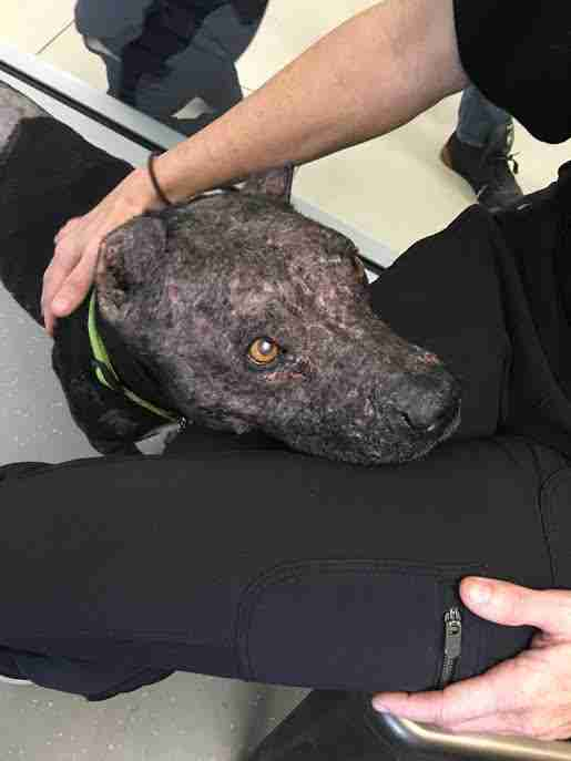 Rescued dog putting head on person's lap