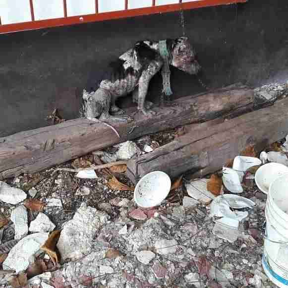 Abused dog chained up outside house in Mexico