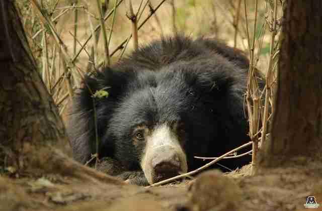 bear rescue india