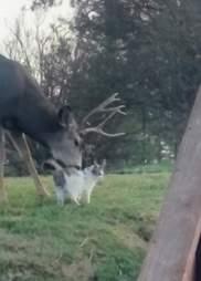 Wild deer loving on cat