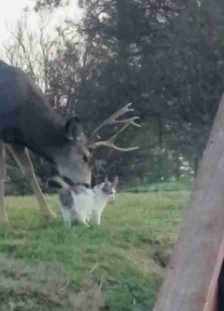 Wild deer loving on cat