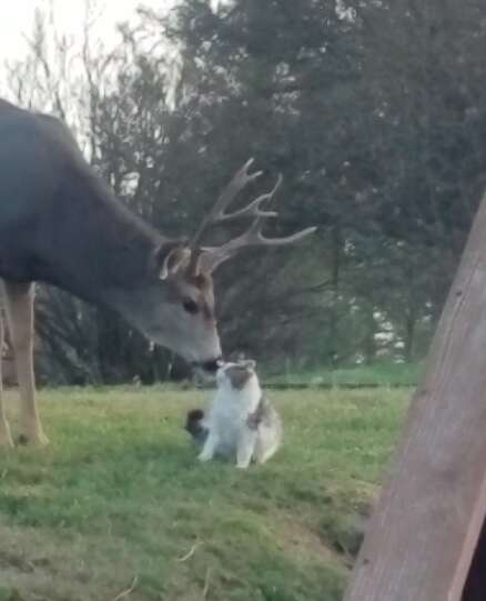 Wild deer loving on domestic cat