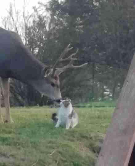 Wild deer loving on domestic cat