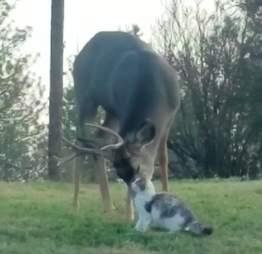 Deer licking cat in backyard