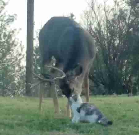 Deer licking cat in backyard