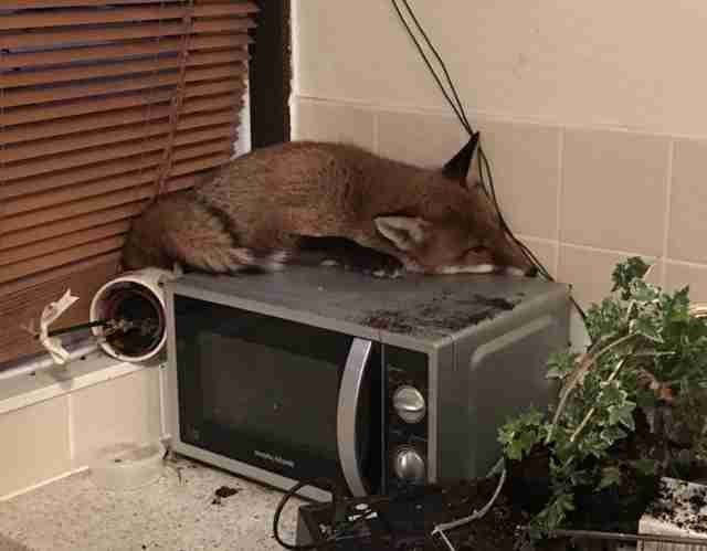 A wild fox sleeping on a microwave in a London home