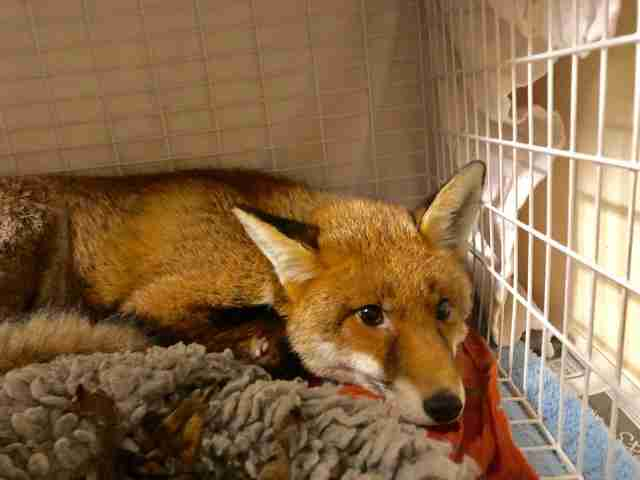 Wild fox makes full recovery at Putney Animal Hospital