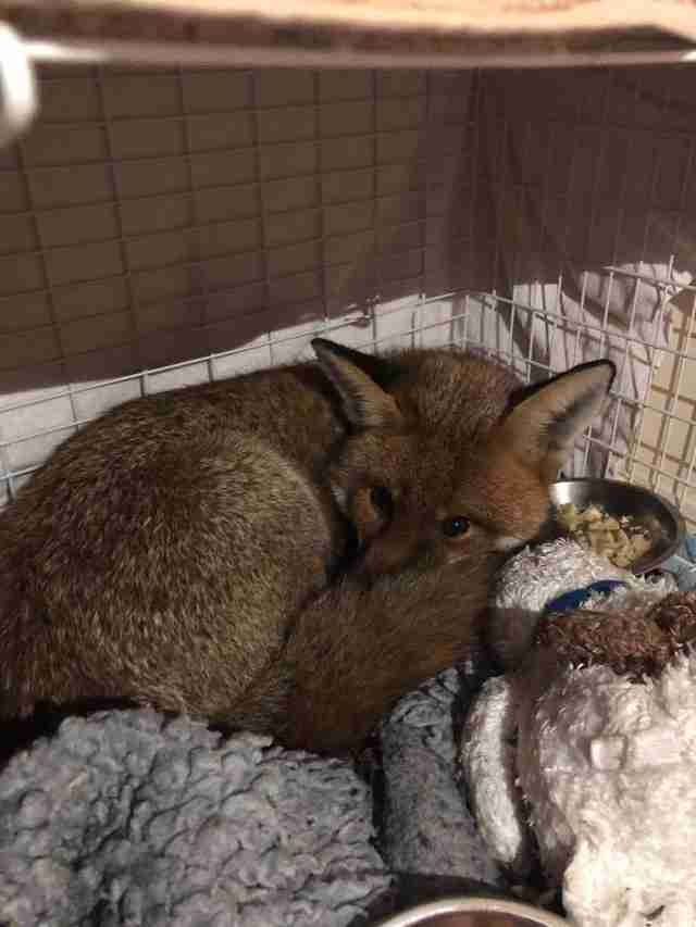 Fox rescued from London home