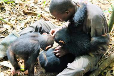 Caregiver grooming a rescued chimp