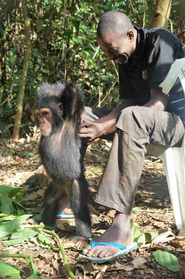 Caregiver with rescued baby chimp