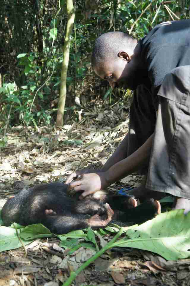 Caregiver touching rescued chimpanzee
