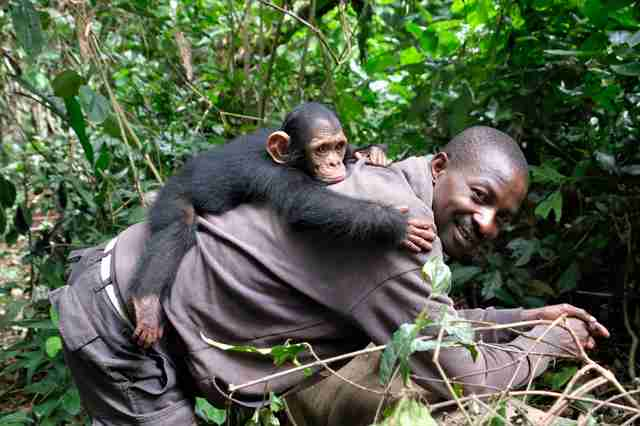 Baby chimp riding on back of caregiver