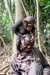 Chimp standing on shoulders of caregiver